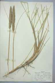 Ammophila arenaria herbarium specimen from Jersey Marine Sand Dunes, VC41 Glamorganshire in 1959 by T R Lovering.