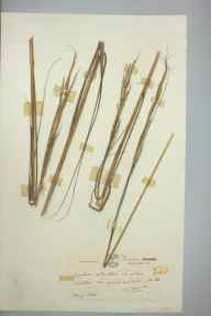 Spartina alterniflora herbarium specimen from Eling, VC11 South Hampshire in 1952 by John G Manners.