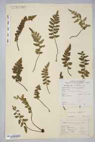 Asplenium marinum herbarium specimen from Ilfracombe, VC4 North Devon in 1846 by Mr Henry Ibbotson.