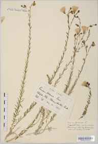 Linum perenne subsp. anglicum herbarium specimen from Cherry Hinton, VC29 Cambridgeshire in 1893 by Mr George Goode.