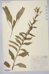 Oenothera biennis herbarium specimen from Hightown, VC59 South Lancashire in 1907 by Mr James Alfred Wheldon.