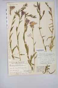 Oenothera stricta herbarium specimen from Minehead Warren, VC5 South Somerset in 1922 by Rev John Durbin Gray.