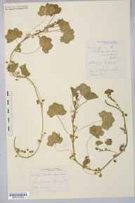 Malva pusilla herbarium specimen from Ledbury, VC36 Herefordshire in 1901 by Mr Spencer Henry Bickham.