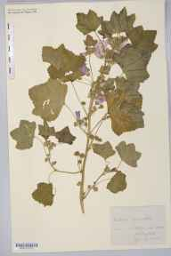 Malva sylvestris herbarium specimen from Hope, Alstonefield, VC39 Staffordshire in 1883.