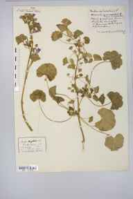 Malva sylvestris herbarium specimen from Wrington, VC6 North Somerset in 1921 by Mr Harold Stuart Thompson.