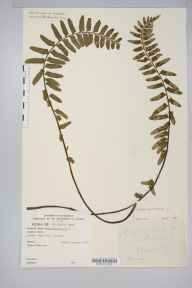 Asplenium marinum herbarium specimen from Rame Head, VC2 East Cornwall in 1890.