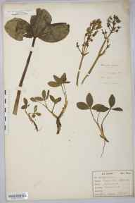 Menyanthes trifoliata herbarium specimen from Tonbridge, River Medway, VC16 West Kent in 1878 by Frederick W E Shrivell.