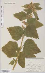 Althaea officinalis herbarium specimen from Dunball, VC6 North Somerset in 1888 by Mr Harold Stuart Thompson.