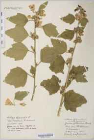 Althaea officinalis herbarium specimen from Portishead, VC6 North Somerset in 1936 by Miss A E Fitzjohn.