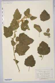 Althaea officinalis herbarium specimen from Whalley Range, VC59 South Lancashire in 1884.