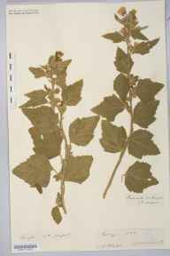 Althaea officinalis herbarium specimen from Dingle, VCH1 South Kerry in 1887 by Rev. Augustin Ley.