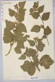 Althaea officinalis herbarium specimen from Severn Tunnel Junction Station, VC35 Monmouthshire in 1904 by Rev. Augustin Ley.