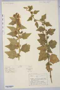 Althaea officinalis herbarium specimen from Romney Marsh, VC15 East Kent in 1873 by Mr Charles Bailey.