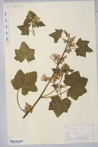 Lavatera arborea herbarium specimen from Newlyn, Penzance, VC1 West Cornwall in 1866 by Mr Charles Bailey.