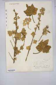 Lavatera arborea herbarium specimen from Steep Holm, VC6 North Somerset in 1832 by Mr Thomas Clark.