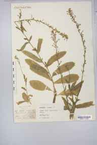 Lobelia urens herbarium specimen from Axminster, VC3 South Devon by Frederick Russell.