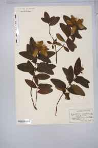 Hypericum calycinum herbarium specimen from New Milton, VC11 South Hampshire in 1920 by Rev Douglas Montague Heath.