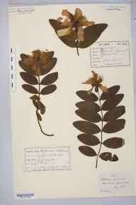Hypericum calycinum herbarium specimen collected by William West (Bradford).