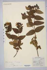 Hypericum androsaemum x hircinum = H. x inodorum herbarium specimen from Scilly, St Mary's, VC1 West Cornwall in 1884 by Rev. Augustin Ley.