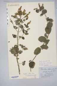 Mentha spicata x suaveolens = M. x villosa var. alopecuroides herbarium specimen from Chesterton Wood, VC38 Warwickshire in 1890 by Mr Henry Bromwich.