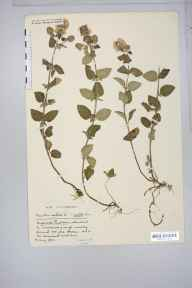 Mentha aquatica herbarium specimen from Shapwick Moor, VC6 North Somerset in 1930 by Mr Harold Stuart Thompson.