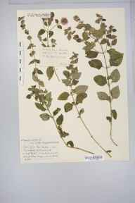 Mentha arvensis x aquatica = M. x verticillata herbarium specimen from Pensford, VC6 North Somerset in 1935 by Mr Harold Stuart Thompson.