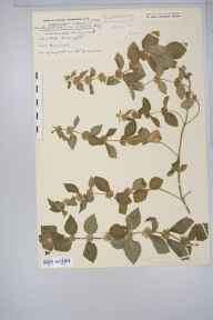 Mentha arvensis x aquatica = M. x verticillata herbarium specimen from Bossington, VC5 South Somerset in 1915 by Rev. Edward Shearburn Marshall.