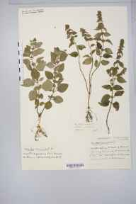 Mentha arvensis x aquatica = M. x verticillata herbarium specimen from Barrow Gurney Reservoirs, VC6 North Somerset in 1933 by Mr Harold Stuart Thompson.