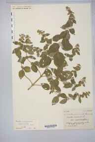 Mentha arvensis x aquatica = M. x verticillata herbarium specimen from Bossington on Sea, VC5 South Somerset in 1909 by Mr Spencer Henry Bickham.
