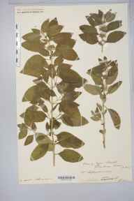 Mentha arvensis x aquatica = M. x verticillata herbarium specimen from Llanthony, VC35 Monmouthshire in 1907 by Rev. Augustin Ley.