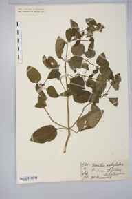 Mentha arvensis x aquatica = M. x verticillata herbarium specimen from Aylestone, VC55 Leicestershire in 1878 by Mr Henry Bromwich.
