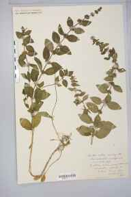 Mentha arvensis x aquatica = M. x verticillata herbarium specimen from Ross, VC36 Herefordshire in 1884 by Rev. Augustin Ley.