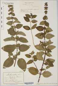 Mentha rubra herbarium specimen from Bourn, VC29 Cambridgeshire in 1916 by Mr Albert John Crosfield.