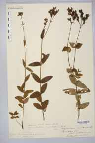Hypericum montanum herbarium specimen from Welsh Newton, VC36 Herefordshire in 1880 by Rev. Augustin Ley.