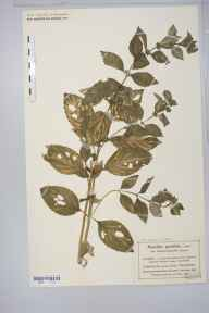 Mentha arvensis x spicata = M. x gracilis herbarium specimen from Whalley Range, VC59 South Lancashire in 1900 by Mr Charles Bailey.