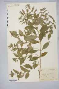 Mentha arvensis x spicata = M. x gracilis herbarium specimen from Colonsay, VC102 South Ebudes in 1909 by Rev. Edward Francis Linton.