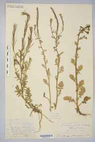 Barbarea intermedia herbarium specimen from Bowdon, VC58 Cheshire by George Edward Hunt.