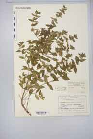 Mentha gracilis var. cardiaca herbarium specimen from Cleeve Hill, VC33 East Gloucestershire in 1915 by Mr Charles Bailey.