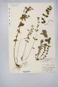 Hypericum tetrapterum herbarium specimen from Hatfield Forest, VC19 North Essex in 1912 by Rev Douglas Montague Heath.