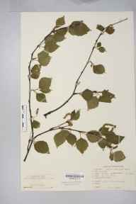 Betula pubescens subsp. tortuosa herbarium specimen from Sutton Park, VC38 Warwickshire in 1951 by Dr Peter Shaw Green.