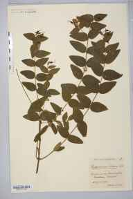 Hypericum androsaemum herbarium specimen from Bristol, VC34 West Gloucestershire in 1920 by Mr James Walter White.