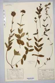 Hypericum  herbarium specimen from Wormhill, VC57 Derbyshire in 1878 by William West (Bradford).