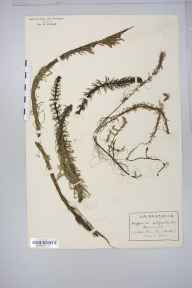 Hippuris vulgaris herbarium specimen from Shouldham Warren, VC28 West Norfolk in 1916 by Rev Douglas Montague Heath.