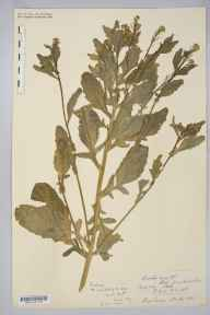 Barbarea stricta herbarium specimen collected in 1852 by Robert Maulkin Lingwood.