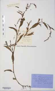 Persicaria hydropiper herbarium specimen from Adel, VC64 Mid-west Yorkshire in 1876.