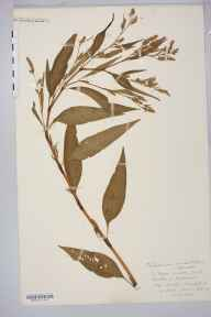 Persicaria lapathifolia herbarium specimen from Strangford, VC36 Herefordshire in 1883 by Rev. Augustin Ley.