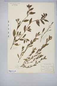 Polygonum aviculare herbarium specimen from Bedlar's Green, VC19 North Essex in 1912 by Rev Douglas Montague Heath.