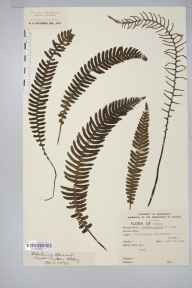 Blechnum spicant herbarium specimen from Tintern Abbey, VC35 Monmouthshire in 1889 by Mr William Henry Wilkinson.