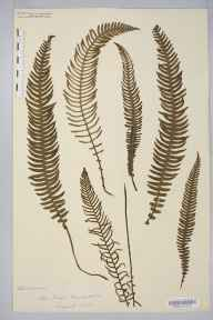 Blechnum spicant herbarium specimen from New Forest, VC11 South Hampshire in 1878.