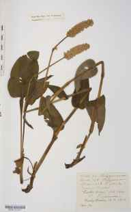 Persicaria bistorta herbarium specimen from Bosley, VC58 Cheshire in 1876 by Mr Langley Kitching.